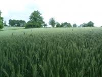 Champ de blé aux...